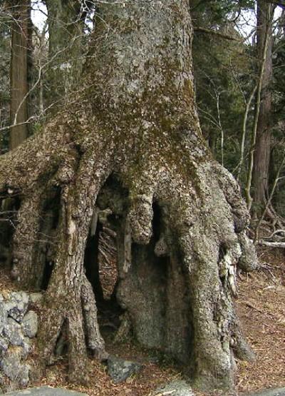 木が育ったあとに火山灰が流失して空洞となった「根上がりモミ」=静岡県小山町、冨士浅間神社